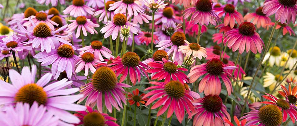 Coneflowers, or echinacea, are a great perennial choice for Florida yards in Parrish.