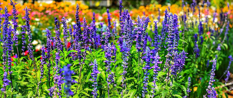 Black and blue salvia is a beautiful perennial choice for yards in Palmetto, FL.