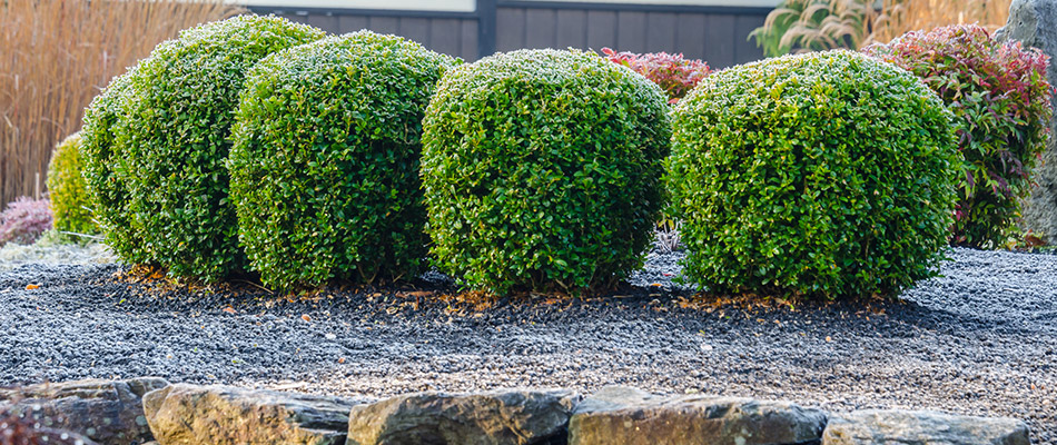 Recently trimmed shrubs in Parrish, FL.