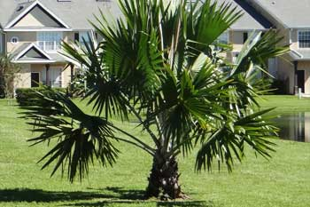 European Fan Palm in the side yard of a home in Parrish.
