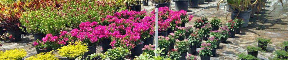Florida flowers and shrubs for sale at Three Seasons Nursery in Palmetto, FL.