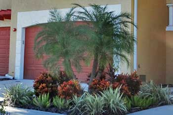 Pygmy Date Palm in front of a home in Palmetto, FL.